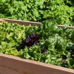 Optez pour des jardinières surélevées pour vos herbes aromatiques